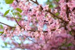 Fleurs roses sur la branche d'arbre Photographie stock libre de droits