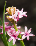 Fleurs roses sur la tige avec les feuilles minces et longues vertes sur le fond noir-et-brun Photo stock