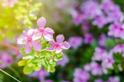 Fleurs roses sur le fond de fleur de tache floue Image stock