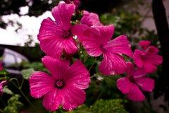 Fleurs roses sur le fond fonc? macro avec de petites gouttes de l'eau photo stock
