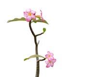 Fleurs roses sur les branches sur le fond d'isolement Image libre de droits