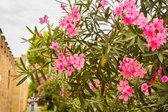 Fleurs roses sur un arbre Images stock