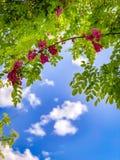 Fleurs roses sur un arbre et des cieux nuageux photo libre de droits
