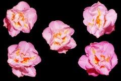 Fleurs roses sur un fond noir Photo libre de droits
