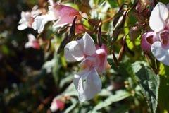 Fleurs roses sur un pré vert photo libre de droits