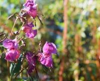 Fleurs roses sur un pré vert Photographie stock libre de droits