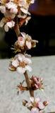 Fleurs roses sur une branche Image stock