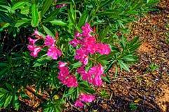 Fleurs roses sur une fin de buisson  photos stock