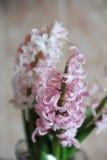 Fleurs roses tendres des ampoules de jacinthe dans un pot en verre Fond rose gentil, humeur de ressort Photos libres de droits