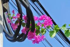 Fleurs roses vibrantes de bouganvillée en rouleau de câble électrique noir photographie stock