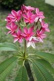 Fleurs roses vibrantes de Plumeria Image libre de droits
