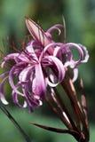 Fleurs roses voyantes d'ampoule de menehune de crinum images libres de droits