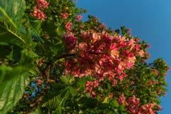 Fleurs rougeâtres d'arbre de châtaigne au coucher du soleil au printemps Photographie stock libre de droits