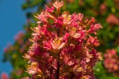 Fleurs rougeâtres d'arbre de châtaigne au coucher du soleil au printemps Images stock