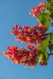 Fleurs rougeâtres d'arbre de châtaigne au coucher du soleil au printemps Images libres de droits