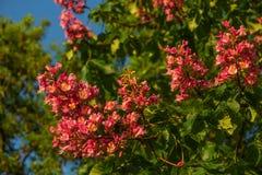 Fleurs rougeâtres d'arbre de châtaigne au coucher du soleil au printemps Photo libre de droits