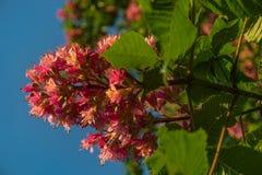 Fleurs rougeâtres d'arbre de châtaigne au coucher du soleil au printemps Photos stock