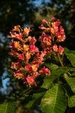 Fleurs rougeâtres d'arbre de châtaigne au coucher du soleil au printemps Photos libres de droits