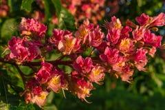 Fleurs rougeâtres d'arbre de châtaigne au coucher du soleil au printemps Photo stock