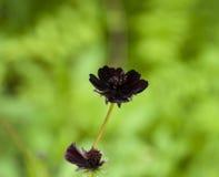 Fleurs rouge-foncé Photographie stock libre de droits