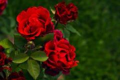 Fleurs rouge foncé de roses d'écarlate dans le jardin Roses d'arbuste avec les pétales ondulés Photographie stock libre de droits