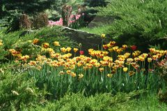 fleurs Rouge-jaunes de tulipe dans un parterre image libre de droits