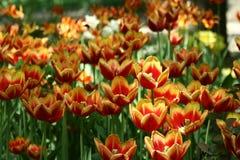 fleurs Rouge-jaunes de tulipe dans un parterre photos libres de droits