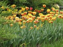 fleurs Rouge-jaunes de tulipe dans un parterre images stock