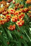 fleurs Rouge-jaunes de tulipe dans un parterre photo libre de droits