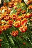 fleurs Rouge-jaunes de tulipe dans un parterre image stock