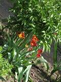 fleurs Rouge-jaunes de tulipe dans un parterre photographie stock