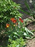 fleurs Rouge-jaunes de tulipe dans un parterre photo stock
