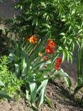 fleurs Rouge-jaunes de tulipe dans un parterre photos stock