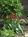 fleurs Rouge-jaunes de tulipe dans un parterre photographie stock libre de droits