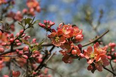 Fleurs rouge-orange de coing japonais Coing de floraison du ` s de Maule Photos stock