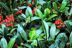 Fleurs rouge-rose d'hiver, pétales, fond naturel, beauté de jardin Photos libres de droits