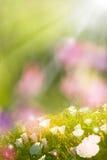 Fleurs rougeoyantes de source Images stock