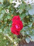 Fleurs rouges Images libres de droits