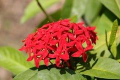 Fleurs rouges Photos stock