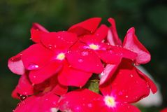 Fleurs rouges après la pluie images libres de droits