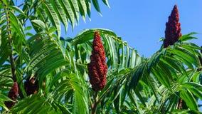 Fleurs rouges avec les feuilles vertes sur le sumac de floraison de Staghorn, typhina de Rhus, foyer en gros plan et sélectif, DO image stock