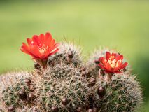 Fleurs rouges colorées d'un petit cactus photographie stock