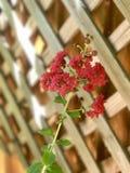 Fleurs rouges contre le treillis Images stock