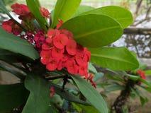 Fleurs rouges d'épine du Christ Photo stock