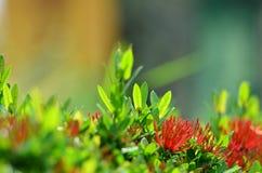 Fleurs rouges d'aiguille Photographie stock