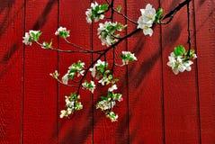 Fleurs rouges d'Apple de grange Photos stock