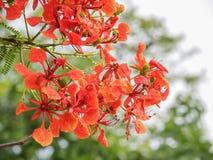 Fleurs rouges d'arbre de pluie Photographie stock