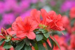 Fleurs rouges d'azalée Images stock