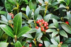 Fleurs rouges d'hiver, pétales, fond naturel, beauté de jardin Image stock