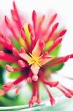 Fleurs rouges d'ixora Photos stock